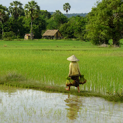 Working in the green paddy fields of Laos (Bn) Tags: countryside topf50 lowlands palmtrees dailylife agriculture laos l