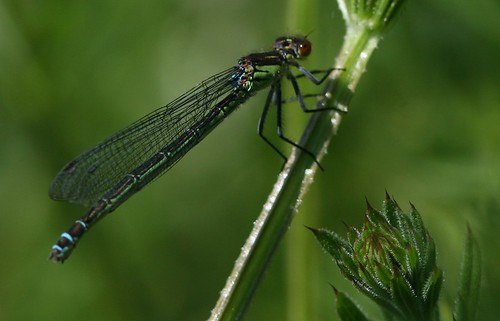 Red-eyed Damselfly...