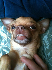A face only a mother could love :) (G.Baby Dolls) Tags: dog chihuahua monster little tiny vicious