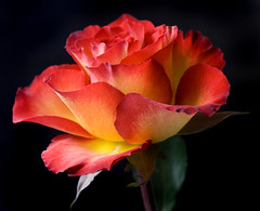 Rose Delight (Theresa Elvin) Tags: orange black flower macro rose yellow soe twotoned naturesfinest awesomeblossoms amazingmacros superamazingmacrosaward