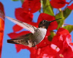 Hummer 1 (o-rusty-nail) Tags: aclass naturesfinest impressedbeauty hummingbirdphotogrophy natureisallallisnature worldclassnaturephotos
