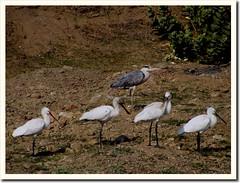 Grey Heron and Spoonbills (કબુત બગલો અને ચમચો) (by Jayesh Bheda)