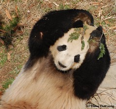 Go Green - Think Green - Act Green (Nikon~Dolll) Tags: animal animals zoo smithsonian panda tian nationalzoo giantpanda fonz pandas tiantian pandabear giantpandas dczoo pandabears