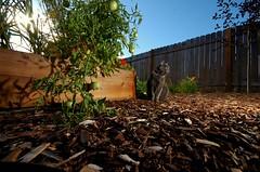 Cinda - Veneta Oregon (Nativeagle) Tags: cats pets oregon nikon d70 native dine navajo nativeagle jpeg spoiled veneta cinda sigma1020