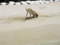 Busca, busca... (Xemical) Tags: dog beach animals fun sand funny dominican republic dominicanrepublic playa arena perro heat dominicana animales dig repblica calor caribe gracioso cavar excavar escarbar