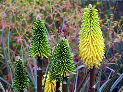 KNIPHOFIA 'Bee's Lemon'