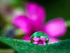 ...through this lens... (Geoff...) Tags: pink flower green nikon bokeh tammy naturallight australia drop refraction droplet canberra clover spikey inthegarden tamron90mmmacro d80 bej karmapotd karmapotw tamron2xtele lushpupimages lushpup