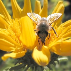 Honeybee in the sun