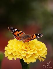..     .. (Al Thani 89) Tags: orange white black flower nature yellow canon butterfly photography eos al thani doha qatar 89 faaaaav 50d yalshai5 vosplusbellesphotos althani89 jalthani raw3aaah