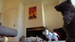 DSC01994 (paulidin) Tags: bear toy pitbull teddybear forcedperspective robotdog chewtoy americanpitbullterrier creativedistortion snapsluts