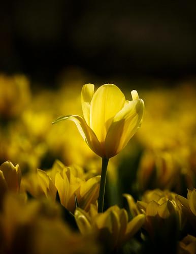 13612 : Tulip2009 #2