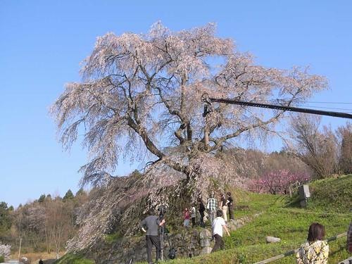 09-04-10【桜】@又兵衛桜-04