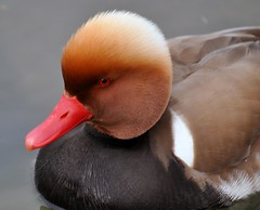 Duck_0678 (fotocurd) Tags: bird animal duck ente rapperswil pochard erpel redcrestedpochard nettarufina kolbenente lakeofzrich estremit fromfotocurd
