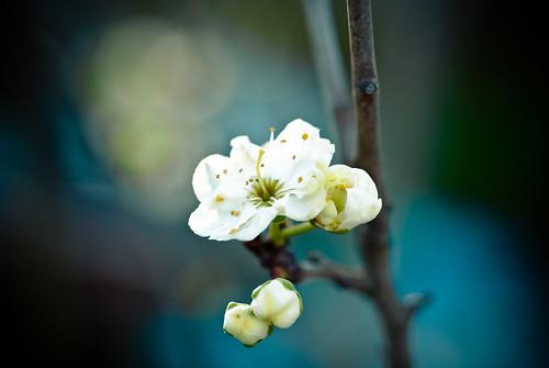 blossoms-7