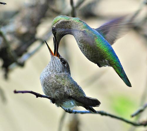 Annas Hummingbird by Ted Ardley.