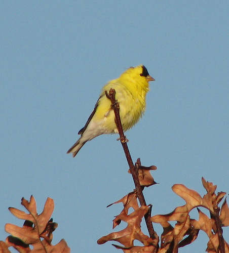 American Goldfinch Fluff-up