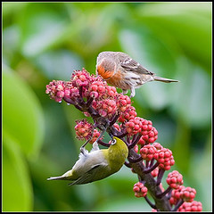 Japanese White-eye and House Finch (amkhosla) Tags: hawaii searchthebest hilo japanesewhiteeye zosteropsjaponicus housefinch whiteeyes hawaiiisland vosplusbellesphotos zosteropida
