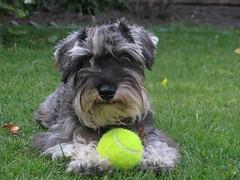 Pitu (pattoncito) Tags: dog schnauzer perro pitu