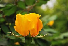 _19 (nakimusi) Tags: rose garden tokyo spring may  gw meguro  shirokanedai   goldenweek yerrow    nikond60     tokyometropolitanteienartmuseum