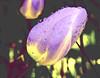 Wet Tulip01