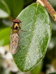 Diptre en or - Melanostoma scalare (Le No) Tags: 31 syrphidae hautegaronne midipyrnes stlon lauragais melanostomascalare diptre collectionnerlevivantautrement