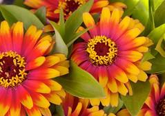 zowie swirl (sherri.h (busy...but back soon)) Tags: pink flowers friends orange flores nature floral yellow flora zinnia excellence colorphotoaward onlythebestare mimamorflowers awesomeblossoms flickrflorescloseupmacros zowiezinnia swirlzinnia