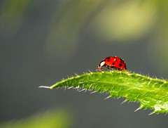 2009-05 Mnchen 018 (Allie_Caulfield) Tags: macro insect geotagged photo highresolution flickr foto image beetle picture free cc mai jpg bild makro jpeg geo insekt 2009 kfer frhling stockphoto marienkfer glckskfer