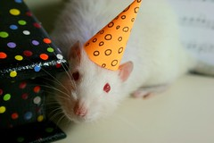 Today is Beethoven's Birthday! (Honey Pie!) Tags: birthday rat beethoven polkadots albino partyhat aniversrio redeyes fancyrat ratazana olhosvermelhos beethovensbirthday chapudefesta polkadotspartyhat chapudefestasdebolinhas aniversriodobeethoven