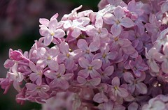 lilla' (Liberty Place) Tags: flowers flores macro nature fleurs rosa natura lilac fiori lilla naturalmente serenella platinumphoto