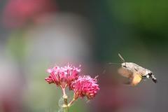 Kolibrievlinder (iii)