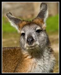A Little Kangaroo.... (Kerri Afford) Tags: nature beauty leaves birds animals australia finches adelaide ferns mammals kangaroos parrots australianwildlife wallabies finche adelaidehills warrawong wildlfie warrawongsanctuary bandicoots storybookwinner
