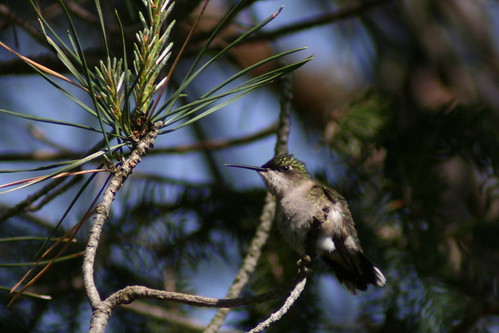 Hummingbird in tree_8676
