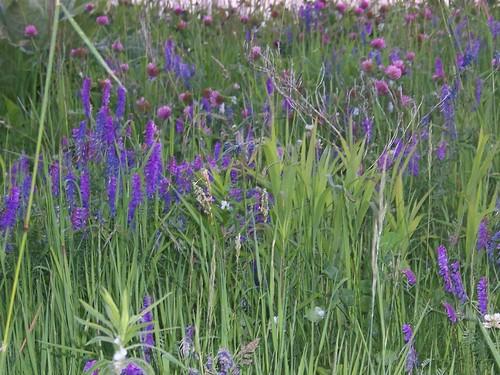 Purple grass blur