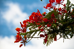 Gulmohar (fameleaf) Tags: sky orange flower lalbagh gulmohar