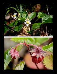 Fraisier sauvage (capitphil) Tags: flower fleur fruit spring belgium belgique mosaic printemps fraise wildstrawberry mosaque wallonie