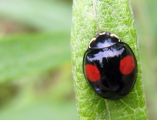 Ladybug  Multicolored Asian Lady Beetle  Horticulture