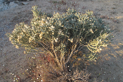 Diamond Cholla by you.