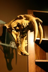 Saber-tooth Cat Skull