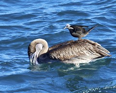 Pelican (Pelecanus occidentalis) Fishing With Friend