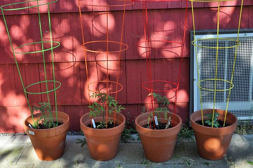 Four kinds of tomatoes