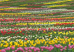 Tulip field (Sky-Genta) Tags: flower field spring tulip