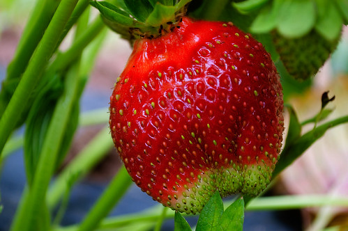 Strawberry picking at the Honey Brook Organic Farm, 4633141613 4cabe7f371