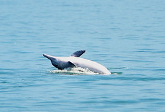 中華白海豚。圖片來源:munch