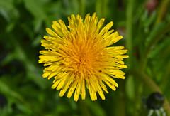 Dandelion (jblank) Tags: seattle flower washington weed dandelion volunteerpark capitolhill