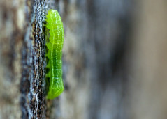 "C-Falls - green inch worm • <a style=""font-size:0.8em;"" href=""http://www.flickr.com/photos/30765416@N06/5714428829/"" target=""_blank"">View on Flickr</a>"