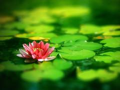 -*--- (susa_) Tags: pink flower green lafotodelasemana bokeh nenúfar lamanoamiga susanamm lfs012009 amigsgcs