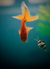 el Koi (Carlows) Tags: pet pez verde azul eos rojo goldfish koi pescado mascota 50mmf14 lacharladelpescado