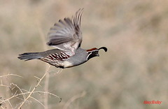 (#331) Gambel's Quail (tinyfishy) Tags: bird flying inflight lasvegas nevada quail gambel naturesfinest gambels specanimal hendersonbirdviewingpreserve