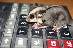 Baby Glider (Viper76) Tags: baby cute one joey small number math calculator glider marsupial