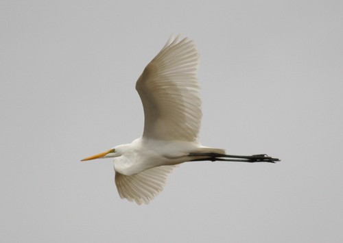 Great Egret - 11/4/2008